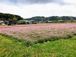 春日れんげ畑