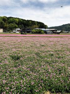 ピンクに染まるれんげ畑