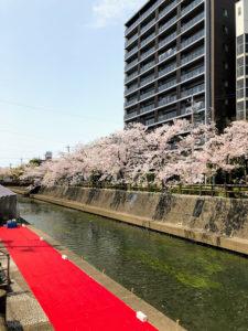 水の町 大垣 桜